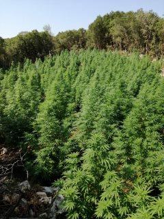 Σύλληψη 61χρόνου  για ναρκωτικά στην Καρδίτσα και κατάσχεση δενδρυλλίων στην Κρήτη