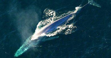 Το ξέρατε ότι: η γαλάζια φάλαινα είναι το μεγαλύτερο γνωστό ζώο που έζησε ποτέ στη Γη;