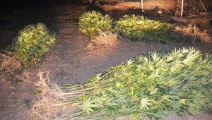 Εντοπίστηκε φυτεία δενδρυλλίων κάνναβης στη Μεσσηνία.