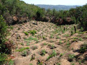 Ταυτοποιήθηκε ένα άτομο, για την καλλιέργεια της φυτείας δενδρυλλίων κάνναβης, που εντοπίσθηκε στη Λακωνία.