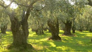 Ανακοινώθηκαν οι οδηγίες φυτοπροστασίας για την καλλιέργεια ελιάς.