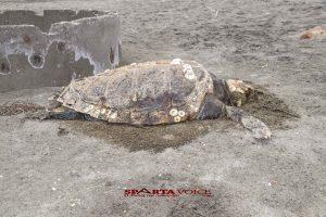 Νεκρή θαλάσσια χελώνα στο Δήμο Ευρώτα.