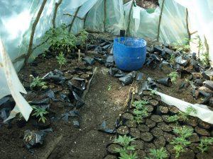 Αναζητούνται από την αστυνομία οι δράστες που καλλιεργούσαν δενδρύλια κάνναβης στον Βασσαρά Σπάρτης.