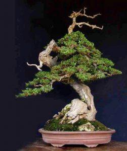 «Η μαγεία της τέχνης των μπονσάι» στο Μουσείο Ελιάς και Ελληνικού Λαδιού