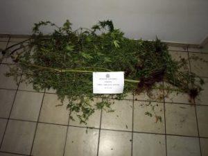 Εντοπίστηκε φυτεία δενδρυλλίων κάνναβης στη Λακωνία.