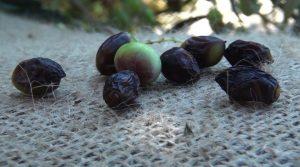 Ενημέρωση σχετικά με την αντιμετώπιση του γλοιοσπορίου της ελιάς