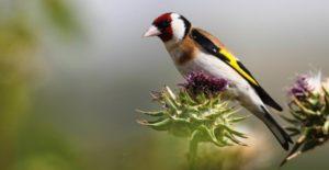 Διερευνήθηκε υπόθεση αιχμαλωσίας & εμπορίας ωδικών πτηνών