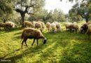 Επιπλέον στήριξη στους κτηνοτρόφους των νησιών του Αιγαίου