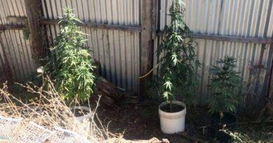 Συνελήφθη 48χρονος στην Μεσσηνία γιατί καλλιεργούσε κάνναβη σε στάβλο
