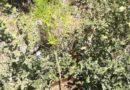 Συνελήφθησαν 2 άτομα για εντοπισμό δύο φυτειών δενδρυλλίων κάνναβης στη Λακωνία