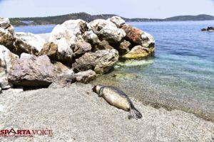 Νεκρή Φώκια σε παραλία της Λακωνικής Μάνης