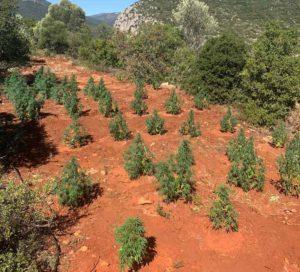 Φυτεία με 171 δενδρύλλια κάνναβης στην Αρκαδία