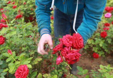 ΣΥΡΙΖΑ – Ανάγκη άμεσης στήριξης των ανθοπαραγωγών