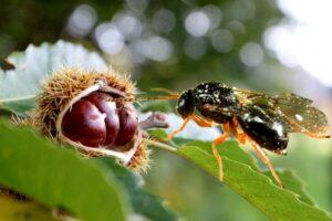 Ανακοίνωση για την βιολογικής καταπολέμησης της σφήκας της καστανιάς