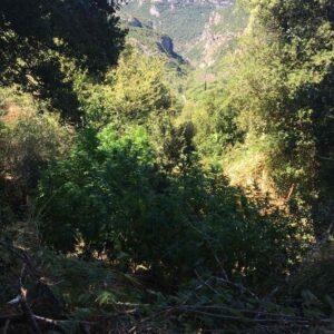 Εντοπίστηκε φυτεία δενδρυλλίων κάνναβης στη Μεσσηνία